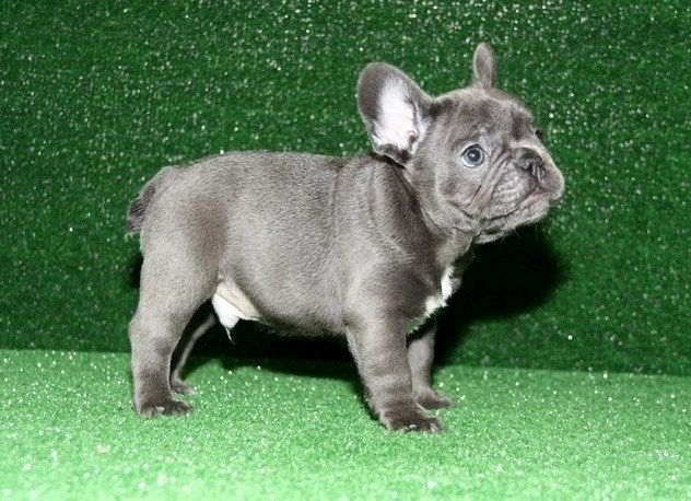 100% Genuine Blue French Bulldog Pups .Text Us At 503  x 832 x 0410